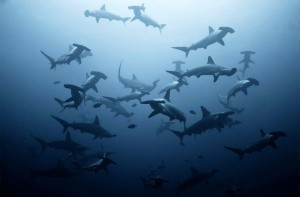 hammerheads use